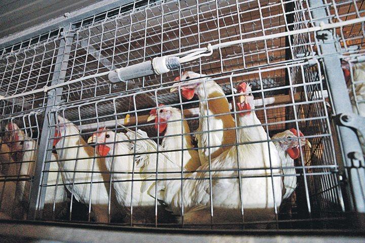 ВКалининграде 3-х лебедей сгубил птичий грипп