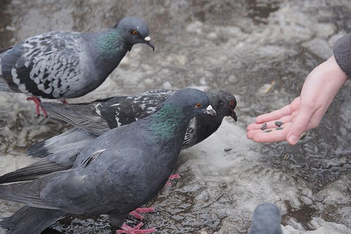 ВПриморском районе неизвестные травят голубей