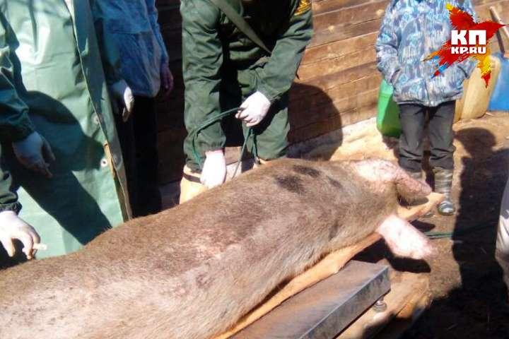 Бродячих собак отлавливают вкарантинной зоне африканской чумы вИркутском районе