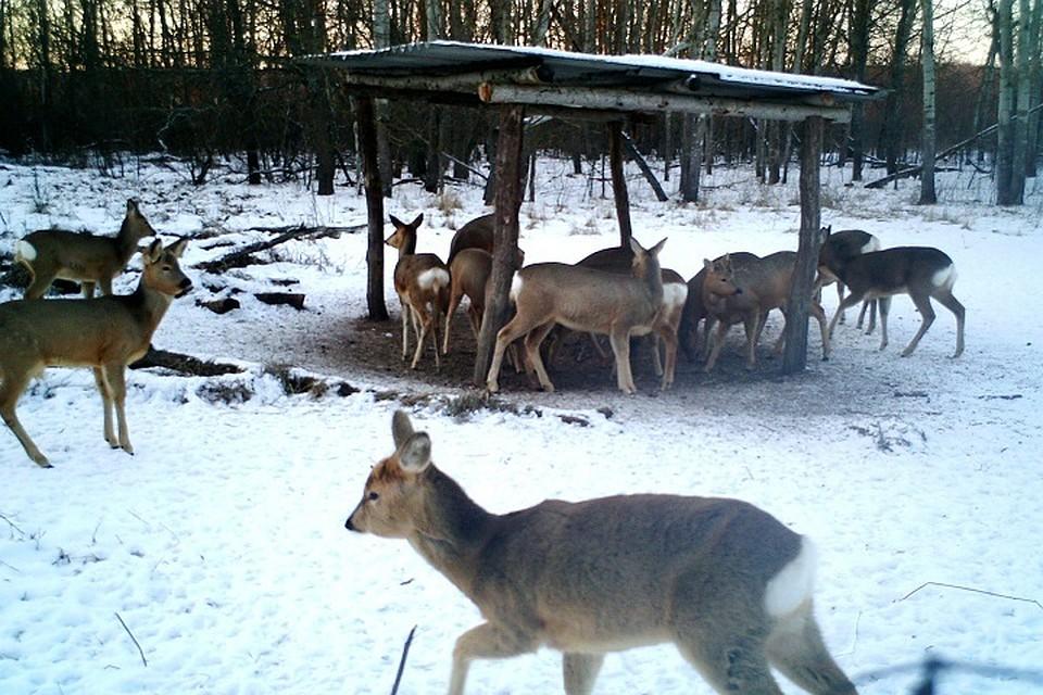 ВВолгоградской области стало больше косуль, лосей изайцев