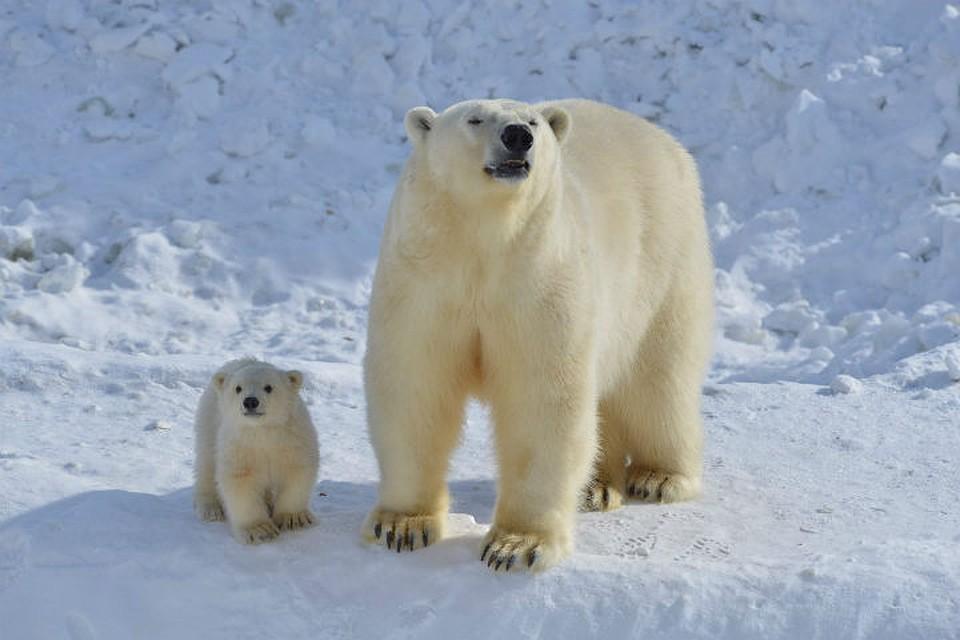 Внучка белой медведицы Услады переедет вЛенинградский зоопарк