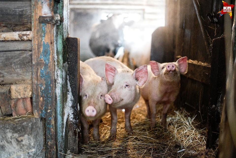 Свиноводческое хозяйство вНижнем Тагиле загрязняет окружающую среду отходами жизни животных