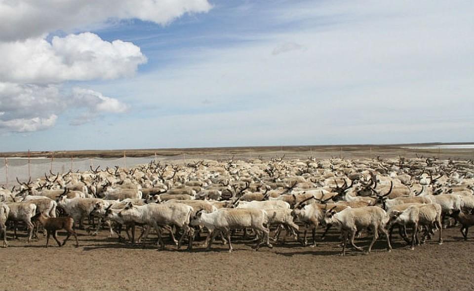 НаЯмале 90 тыс. оленей привиты отсибирской язвы