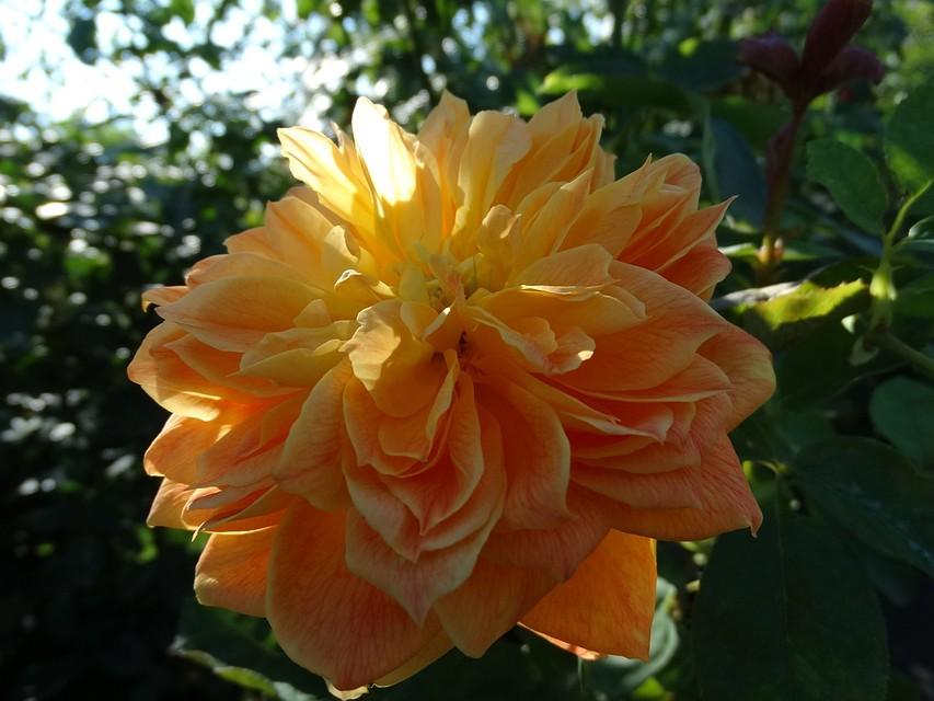 ВВолгограде зацвели «старинные» розы