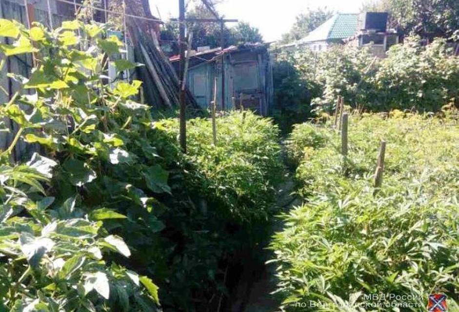 Волгоградец выращивал усебя водворе 4 тысячи кустов конопли