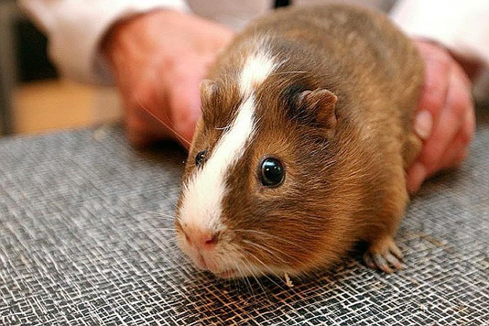 Вакцину отЭболы испытают вПетербурге наморских свинках
