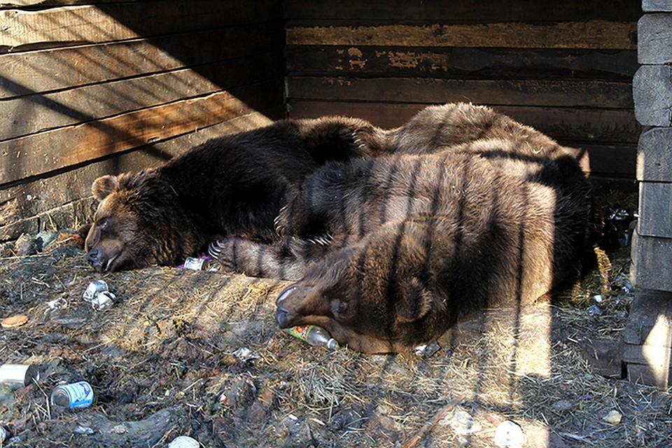 Медведь откусил руку пьяному посетителю кафе вШелеховском районе