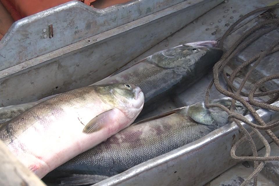 Росрыболовство запретило ловить осеннюю кету вХабаровском крае