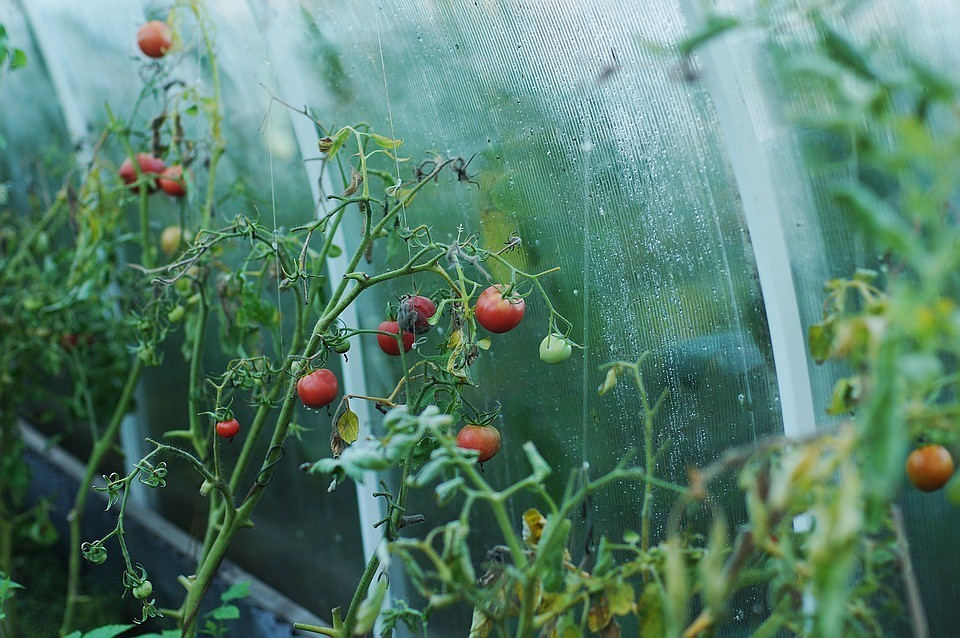 Россельхознадзор запретит ввоз томатов через республику Белоруссию  из 9-ти  стран