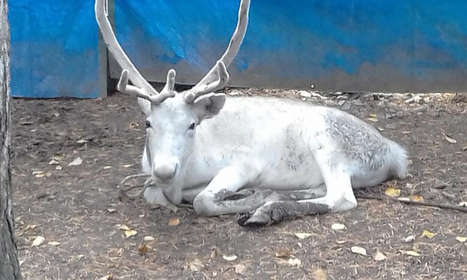 Уральского Деда Мороза будет возить редкостный белый олень
