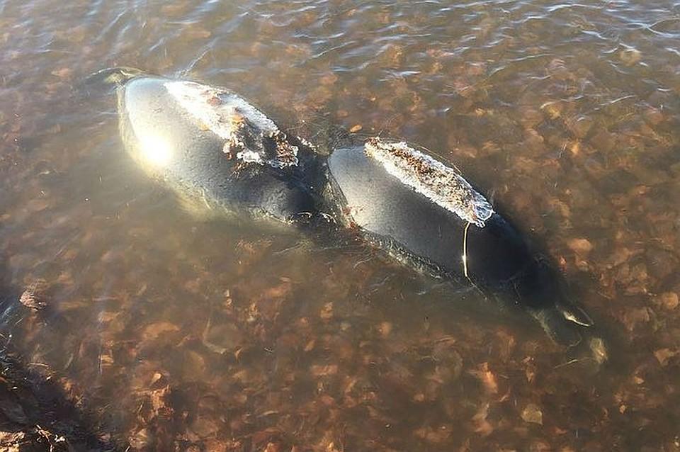 Версии 30 нерп найденных мертвыми на берегу Байкала болели чумой или были отравлены