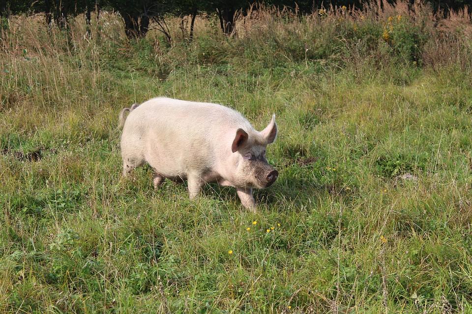 Вгосударстве Украина из-за чумы свиней в26 селах продолжает действовать карантин