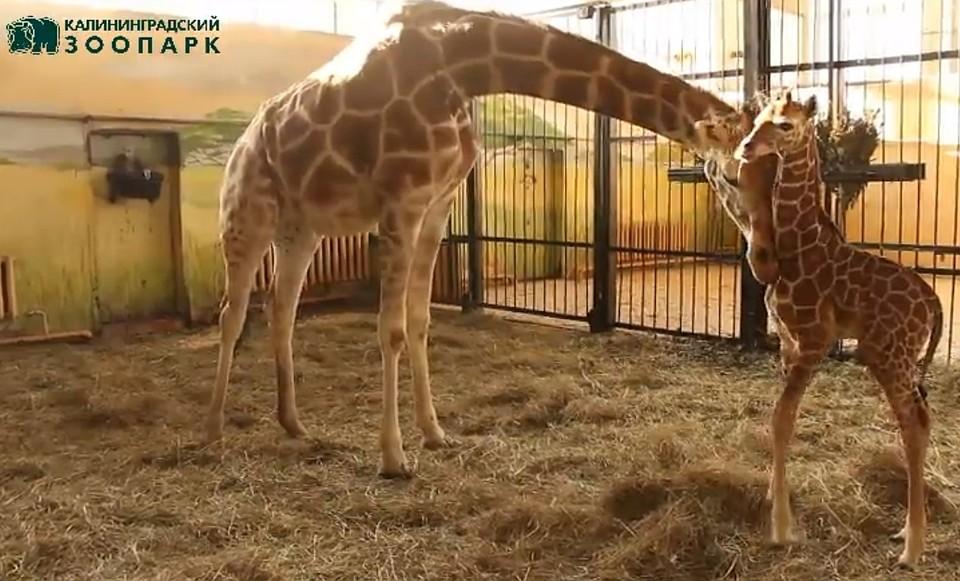 Взоопарке Калининграда родился жирафенок