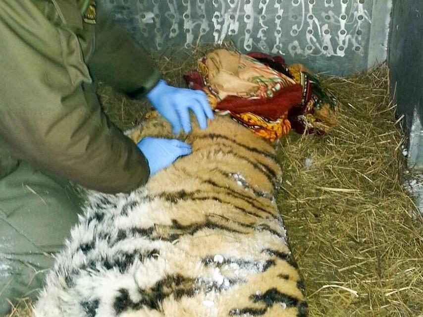 Приморье: тигрица, вышедшая клюдям, скончалась