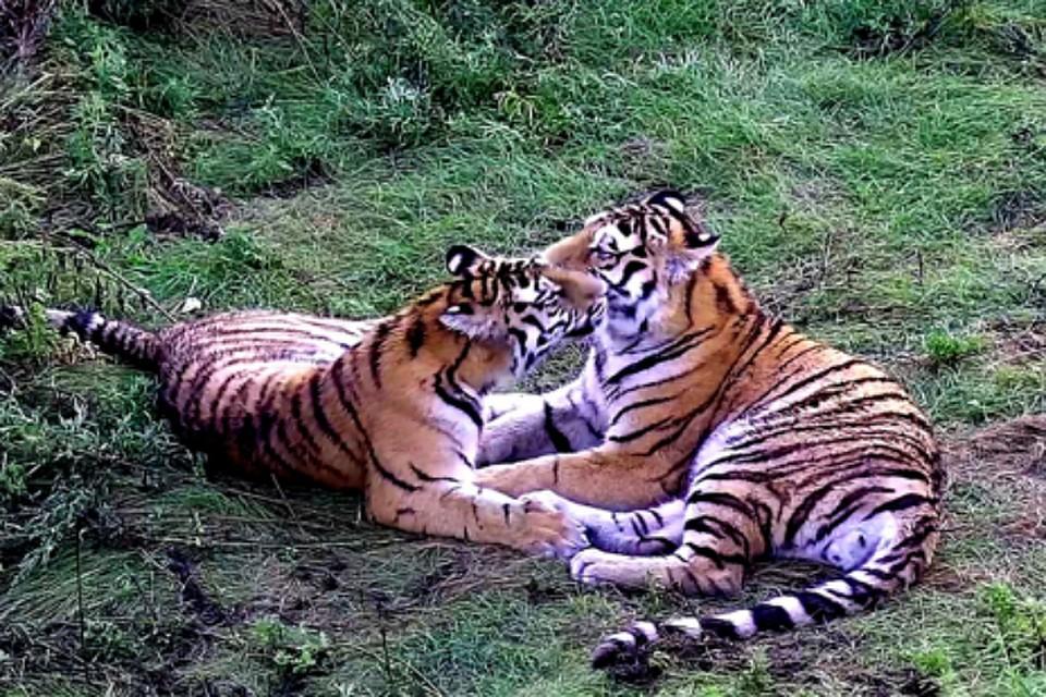 Самостоятельная жизнь тигров Сайхана иЛазовки началась втайге вЕАО