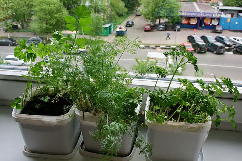 Выращивание укроп в домашних условиях