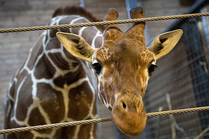 Мариус II живет в городе Видебеке в зоопарке Jllands Park