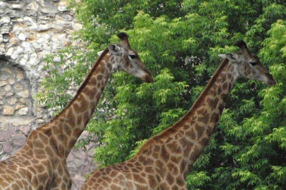 Новосибирский зоопарк кавгусту 2017г планирует завести жирафов