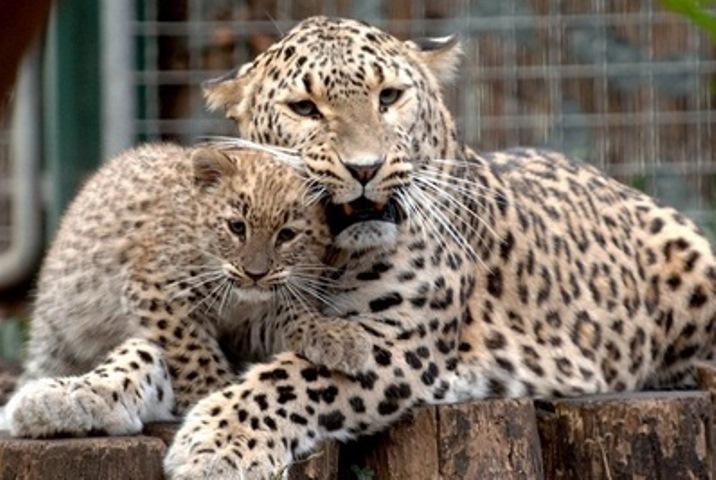 Жители России выберут имена для 3-х котят леопардов