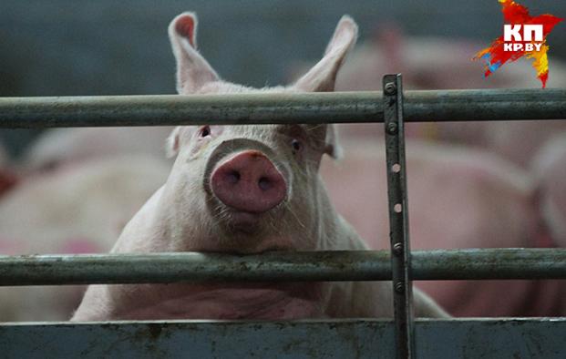 Россия запретила ввоз свинины из Молдовы.