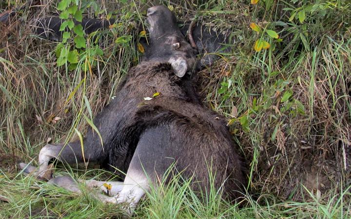 Уйти живым лосю не удалось... Фото УВД Гомельского облисполкома