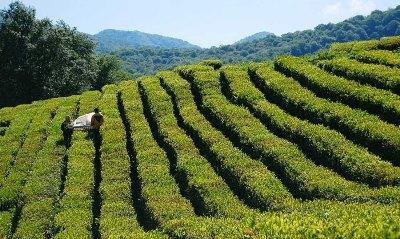 Краснодарский чай завоевал золото намеждународной выставке