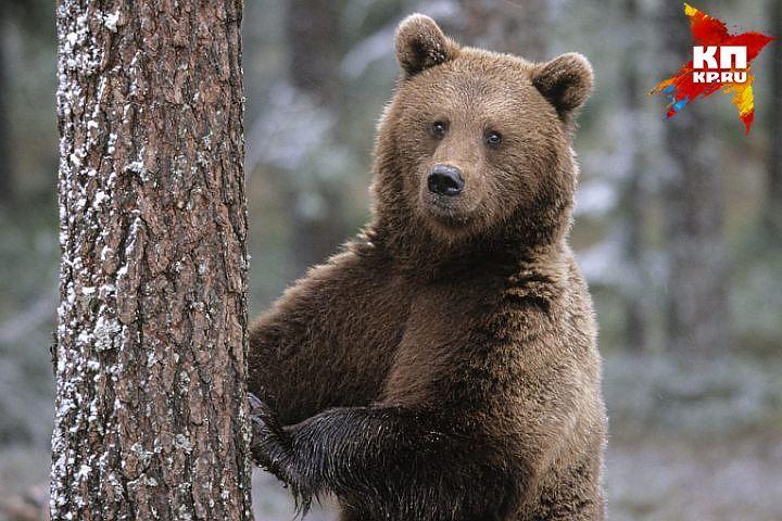 ВТатарстане бурые медведи напали напасеку иоставили пчел без меда