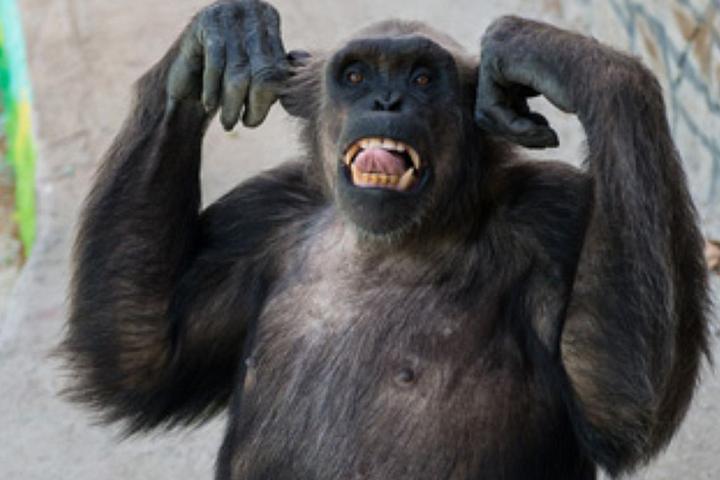 Взоопарке Геленджика отинсульта скончался шимпанзе-алкоголик Джон