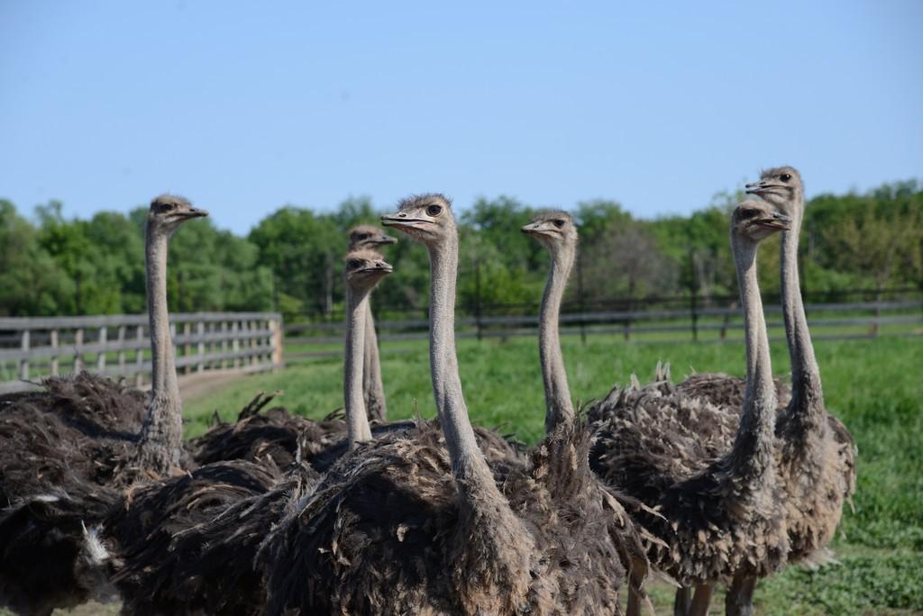 В хозяйстве все желающие могут поближе познакомиться со страусами