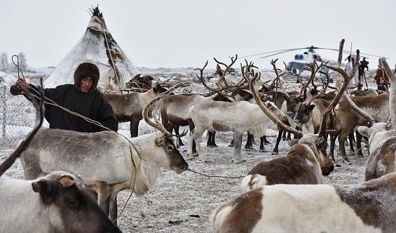 Ямальским кочевникам купили стадо оленей за36 млн рублей