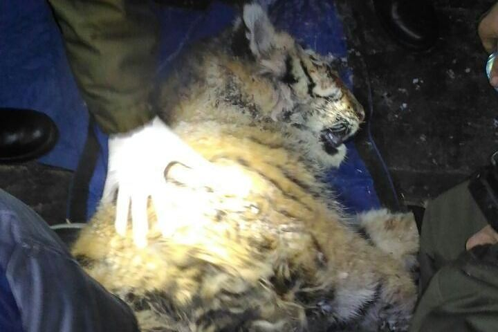 Раненому тигренку, найденному втайге Приморья, сделали операцию