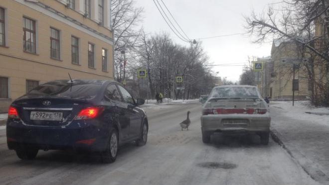 Из-за гусей наЛеонтьевской улице вПушкине пробки