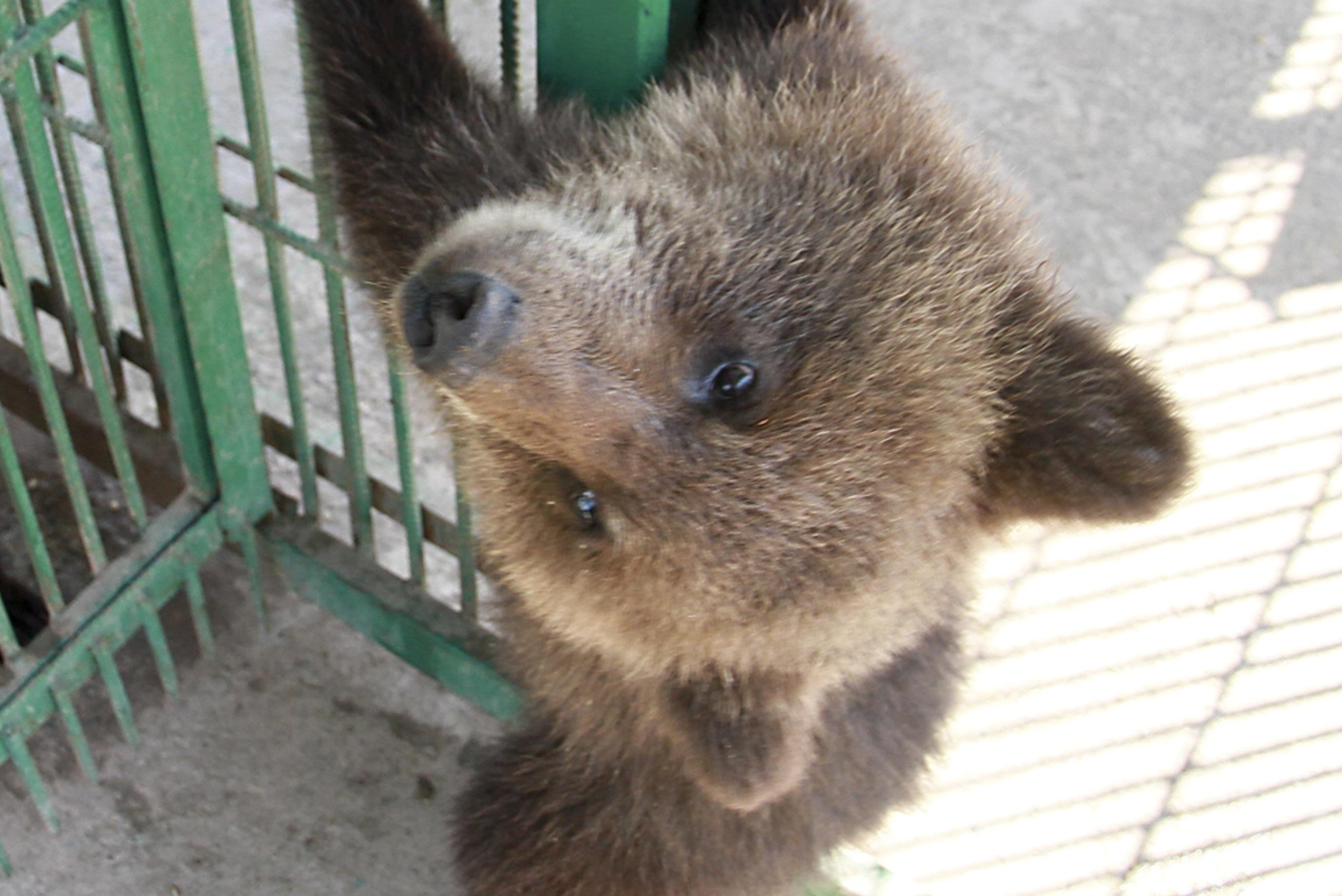 Гражданин Череповца разорил берлогу иубил медведицу смедвежатами