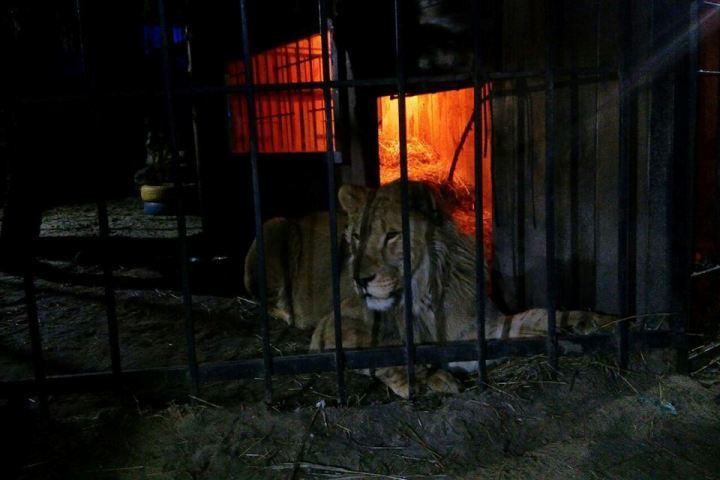 ВЗапорожье лев напал на гостя бани,
