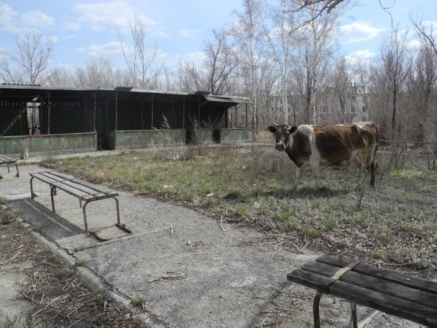 Запустение. Коровы ходят по пустому городу… Фото: Ульяна СКОЙБЕДА