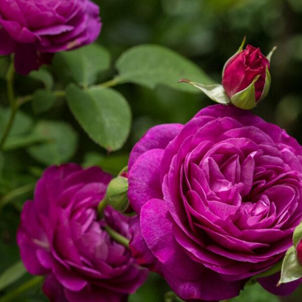 Выставка роз в Аптекарском огороде