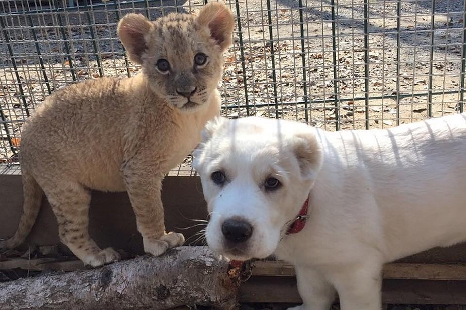 видео щенок и львята