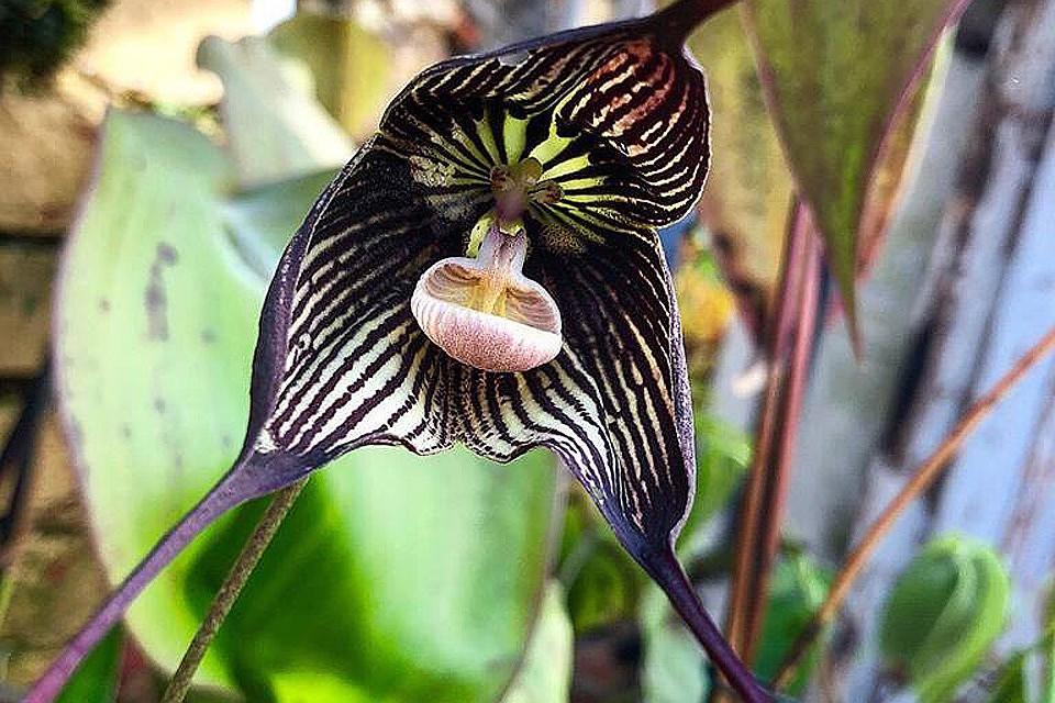 Орхидея транс