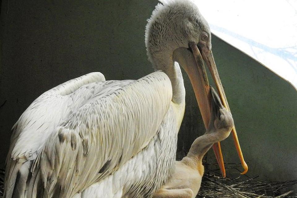 Всего в Московском зоопарке обитают восемь кудрявых пеликанов – две взрослые пары и четыре молодые особи