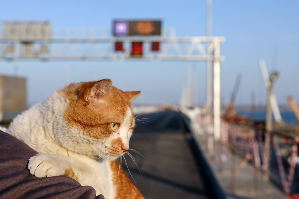 Рыжий талисман контролирует возведение моста через Керченский пролив. Фото: кот Моста/Facebook