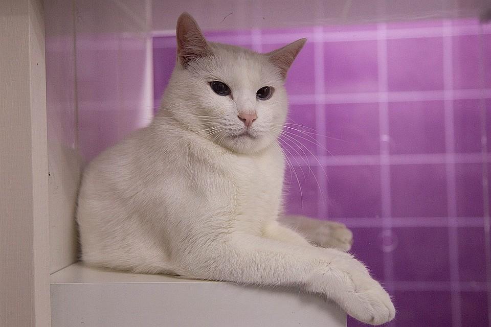Мурчу-мурчу – предсказать хочу  кот Ахилл из Эрмитажа стал официальным  оракулом ФИФА ddf416ca4e7