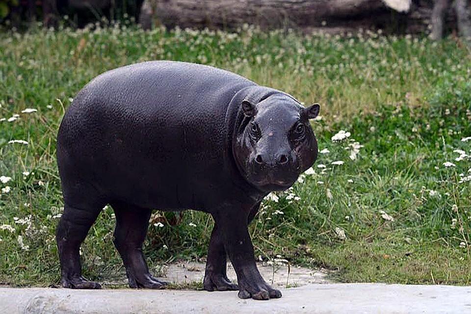 09:18Хулиган отшлепал бегемота в зоопарке Лос-Анджелеса