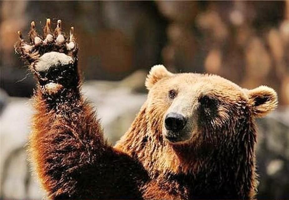 Пока хорошие, картинки прикольного медведя