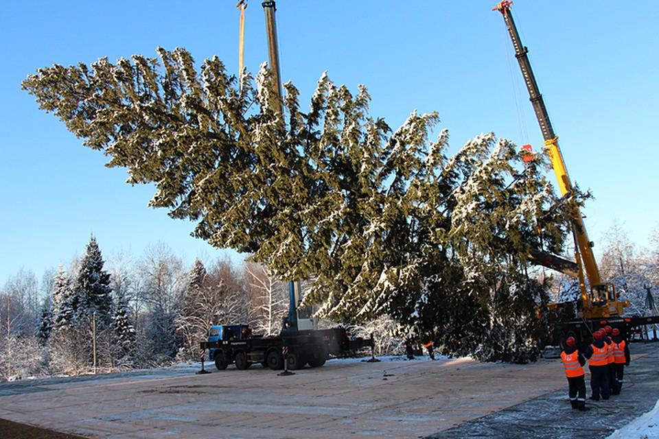 В Щелковском лесу срубили кремлевскую елку-2019