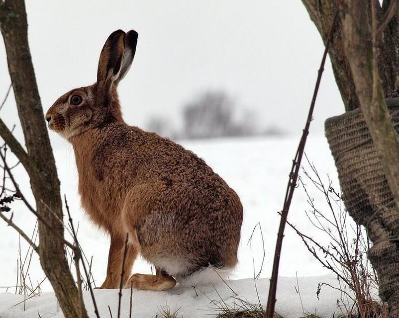 В регионе изменились сроки охоты на зайцев...