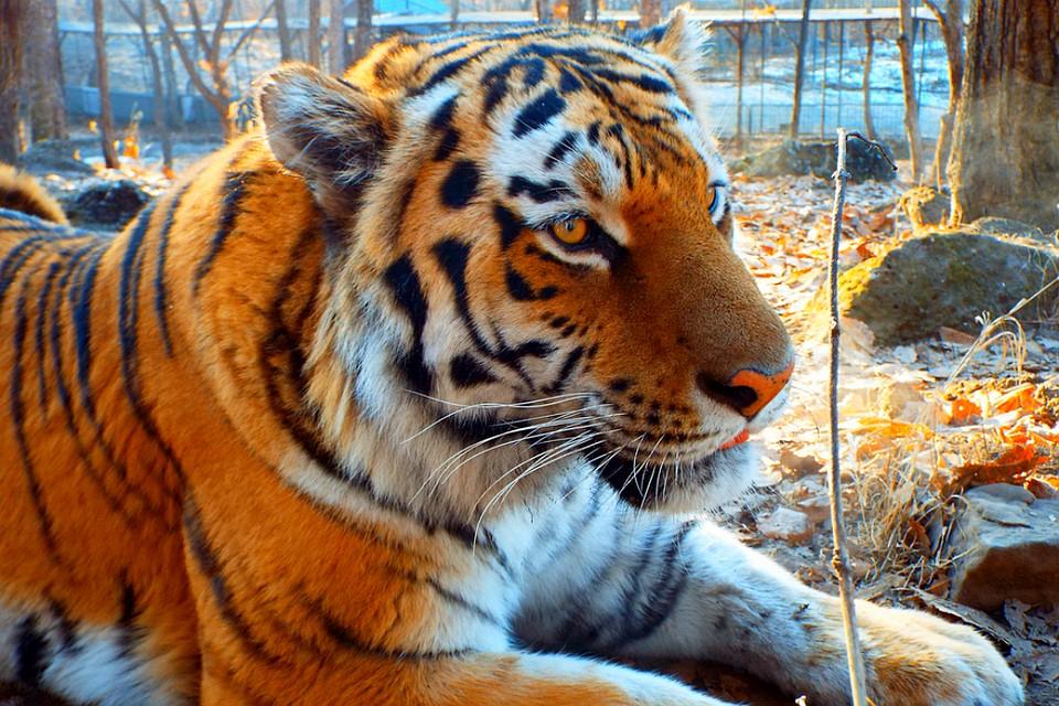 863540260188 Амурные дела  На Кубань из Приморья переезжает друживший с козлом тигр