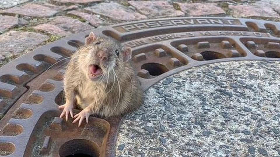 В Германии пожарные спасли располневшую крысу – она застряла в отверстии люка. Фото: BERUFSTIERRETTUNG RHEIN NECKAR