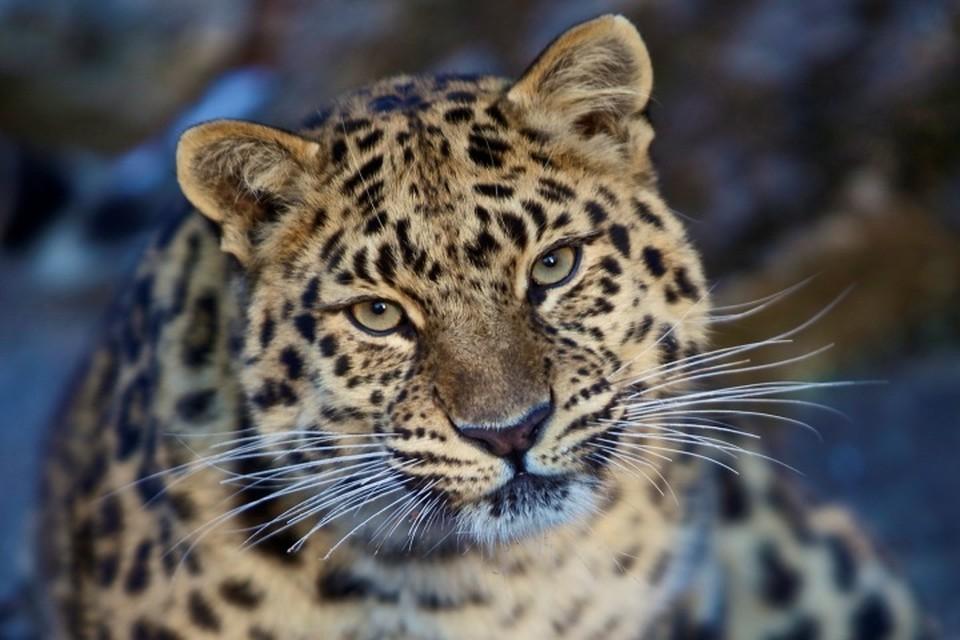 Леопард едва не погиб после кровопролитной драки с соперником. Фото: leopard-land.ru\Чои Кисун