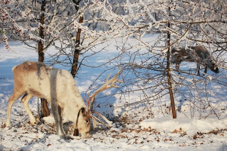 Браконьеры варварски уничтожили стадо краснокнижных оленей в заказнике на Сахалине