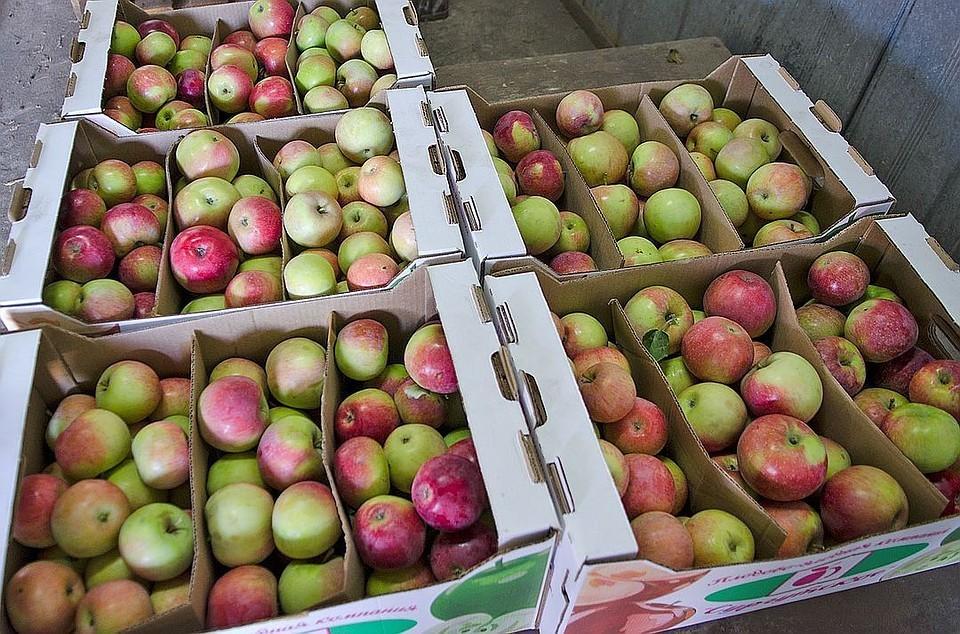 Россельхознадзор запретит ввоз яблок и груш из Белоруссии